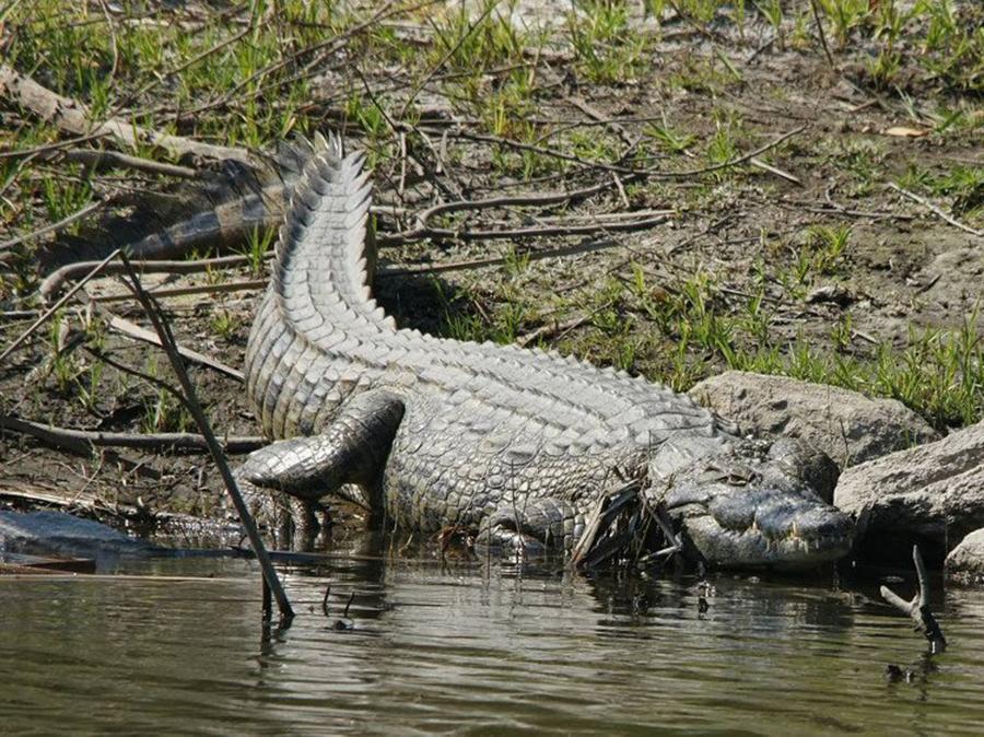 Da cá sấu là gì - Tổng Hợp Các Kiến Thức Về Da Cá Sấu