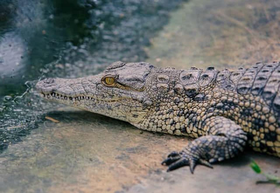 Da cá sấu Crocodile là gì - Chất liệu da cao cấp